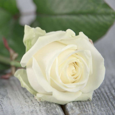 Роза белая Россия 80 см