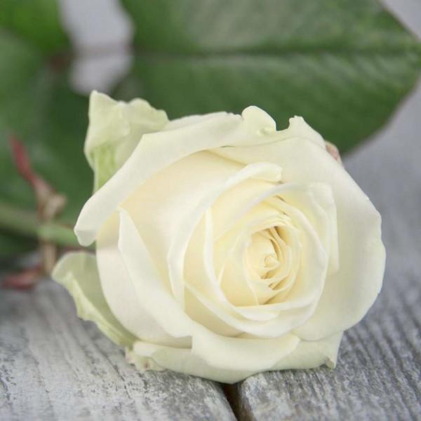 Роза Белая Россия 70 см